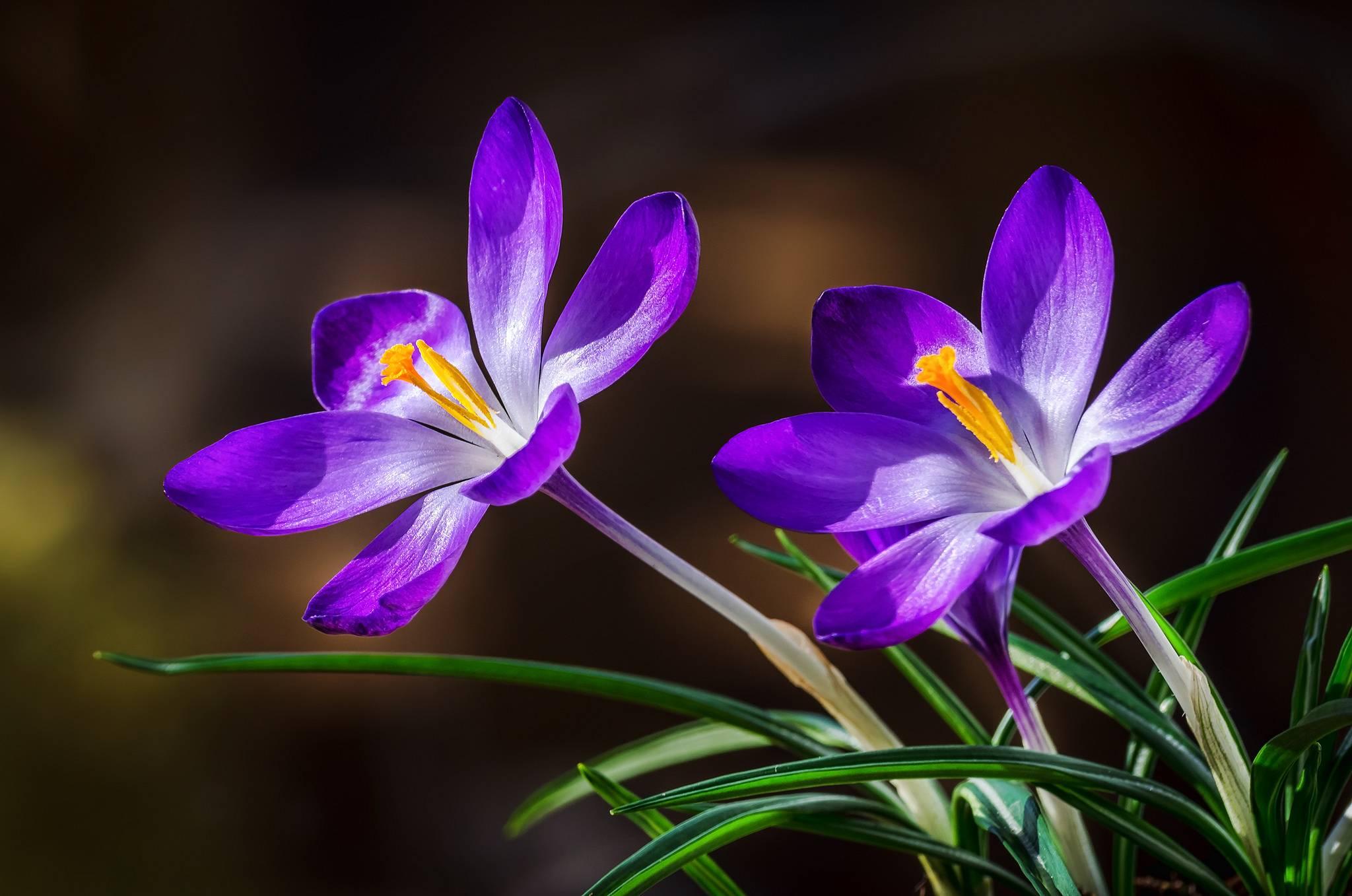 Crocuses, крокусы, цветы