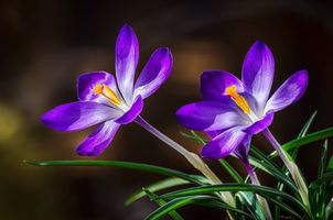 Фото бесплатно Crocuses, крокусы, цветы