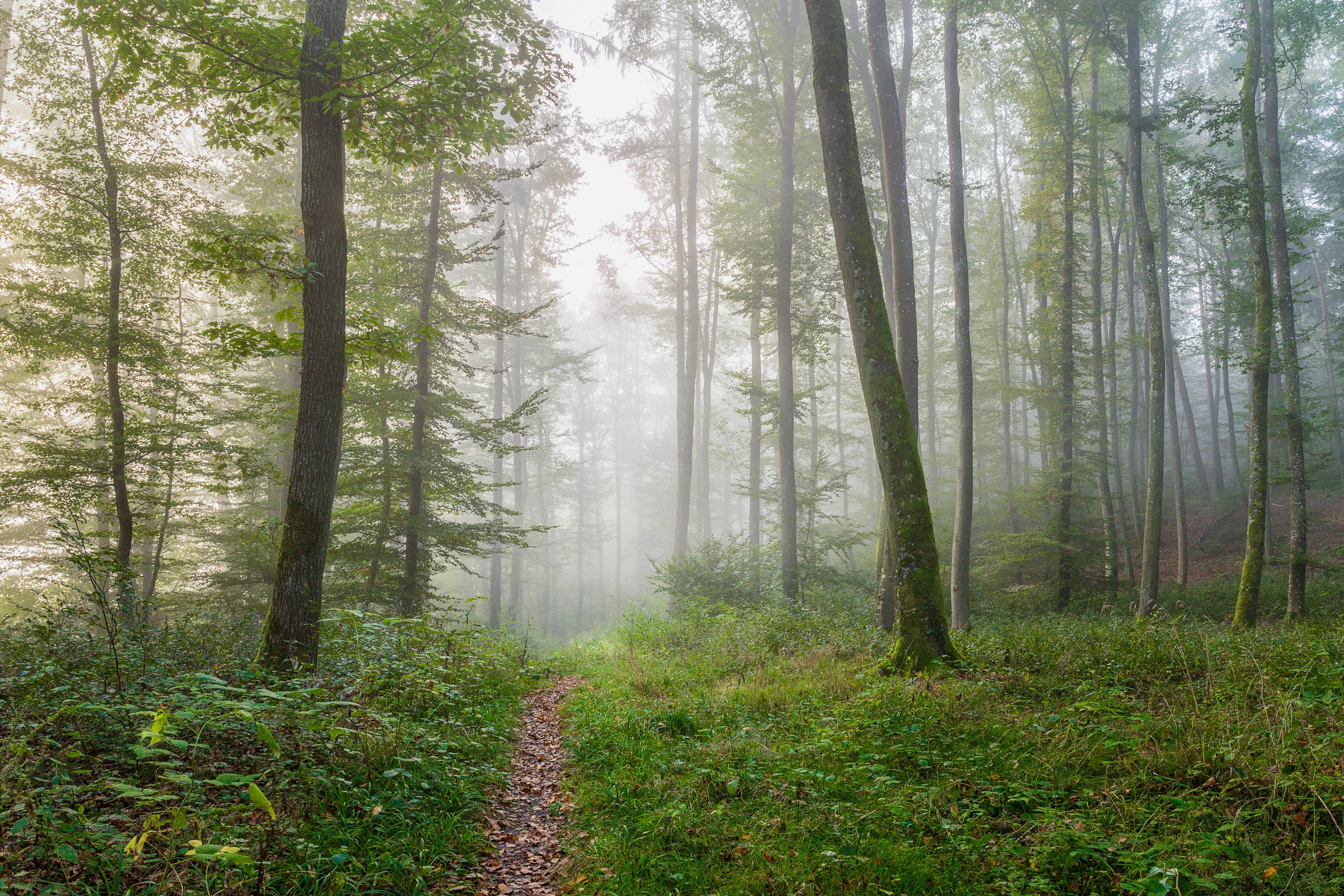 обои лес, деревья, тропинка, туман картинки фото
