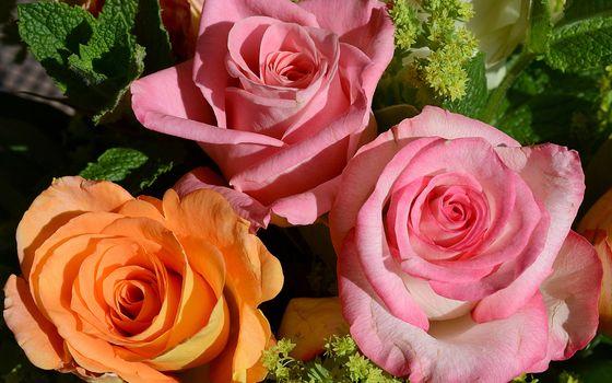 Фото бесплатно розы, лепестки, листья