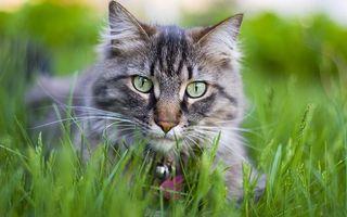 Бесплатные фото кот,морда,глаза,зеленые,шерсть,ошейник,трава