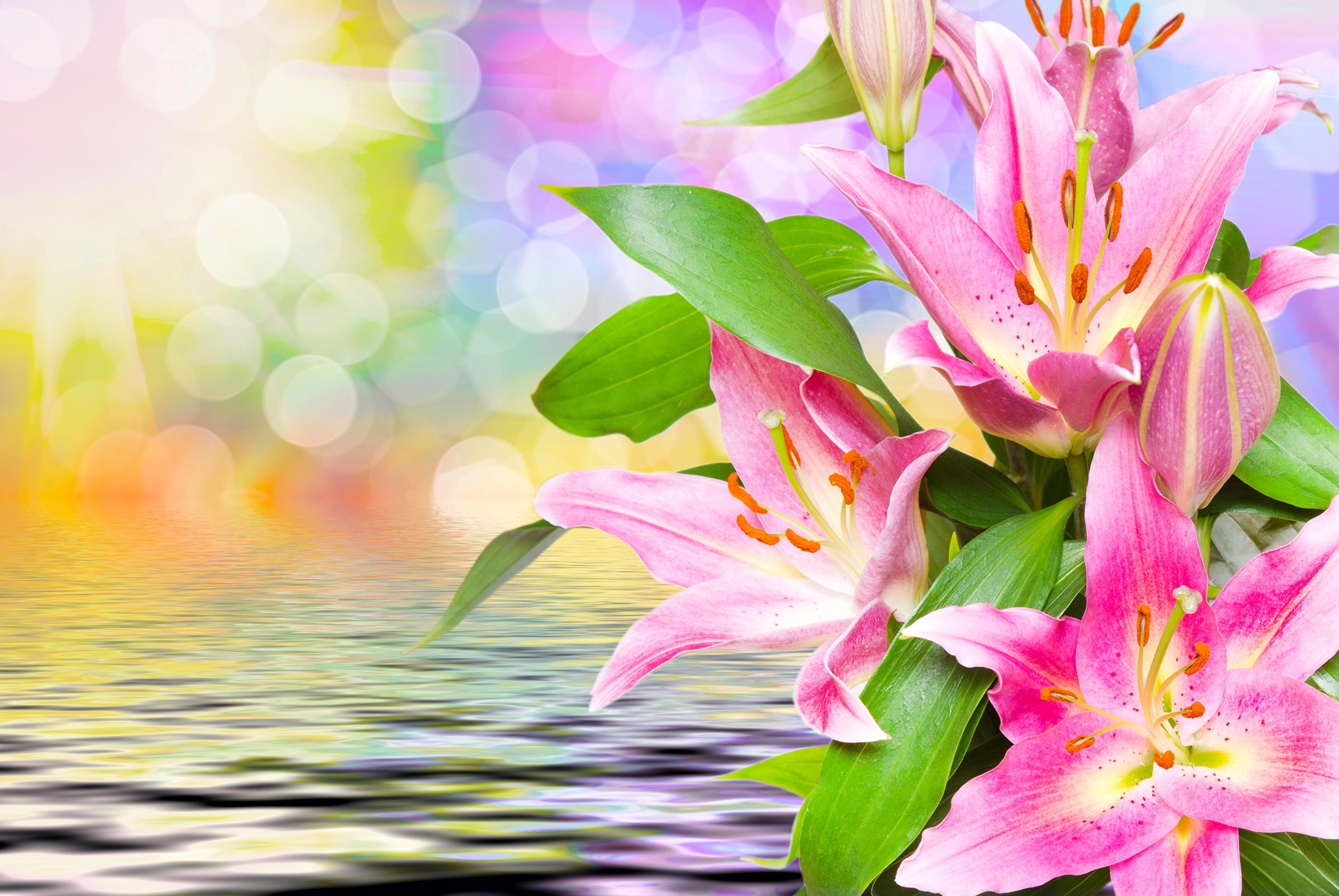 красивые цветы, лилии, лилия