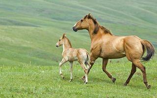 Обои лошадь, жеребенок, морды, гривы, хвосты, холмы, трава