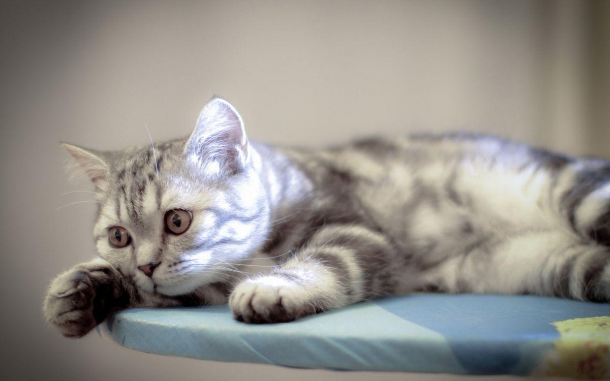 Обои кот, морда, глаза, лапы, шерсть, окрас на телефон   картинки кошки - скачать