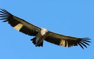 Фото бесплатно клюв, Орел, хвост