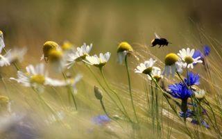 Обои поле, васильки, ромашки, трава, шмель, крылья, лапки, полет