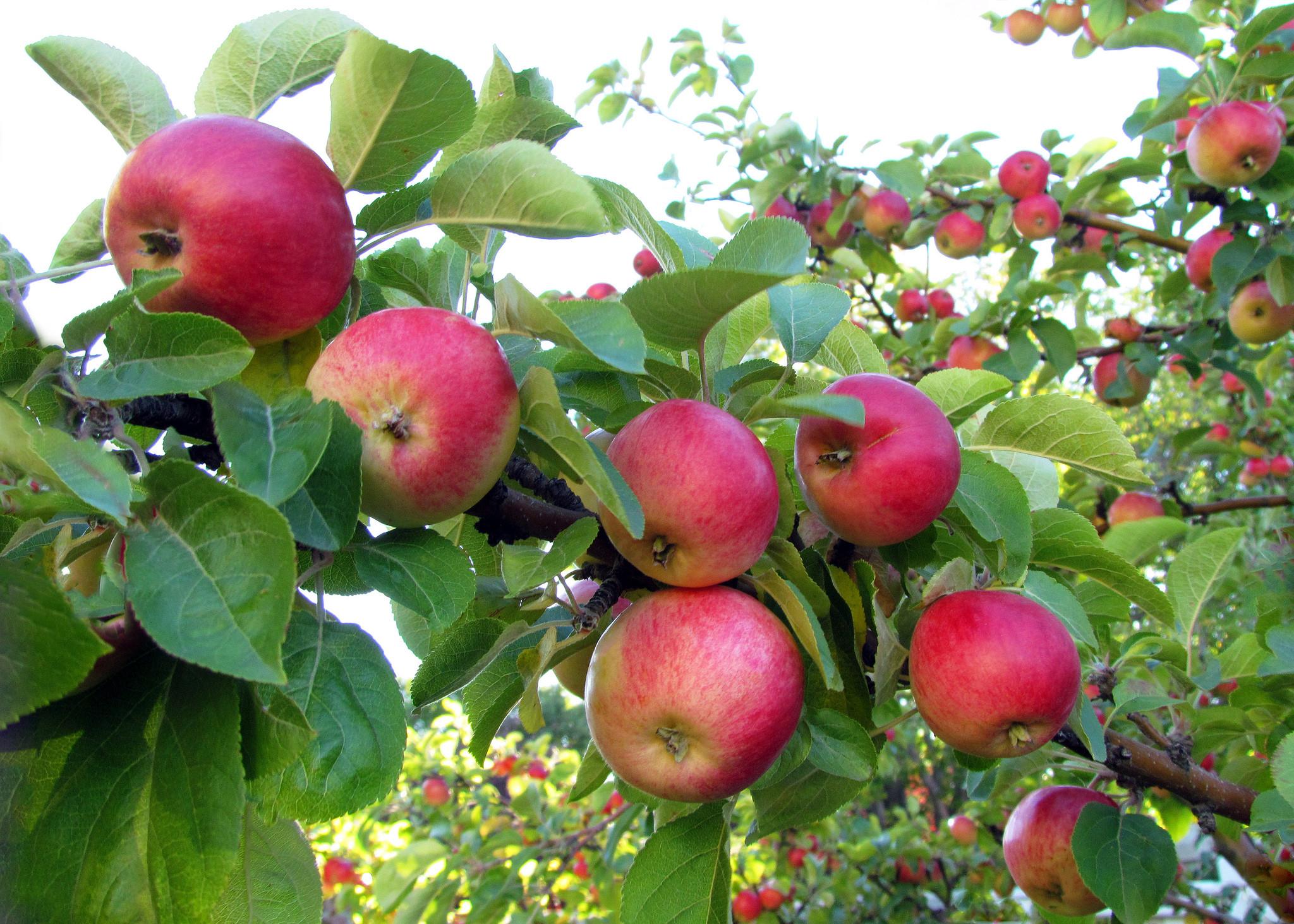 обои яблоня, яблоки, ветки, листья картинки фото