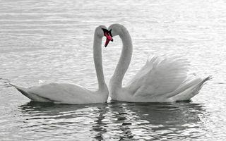 Бесплатные фото лебеди,плавают,белые,пара,водоем,перья