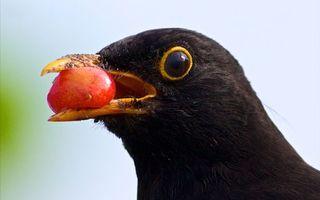 Обои птица, клюв, желтый, ягода, глаза, перья, черные