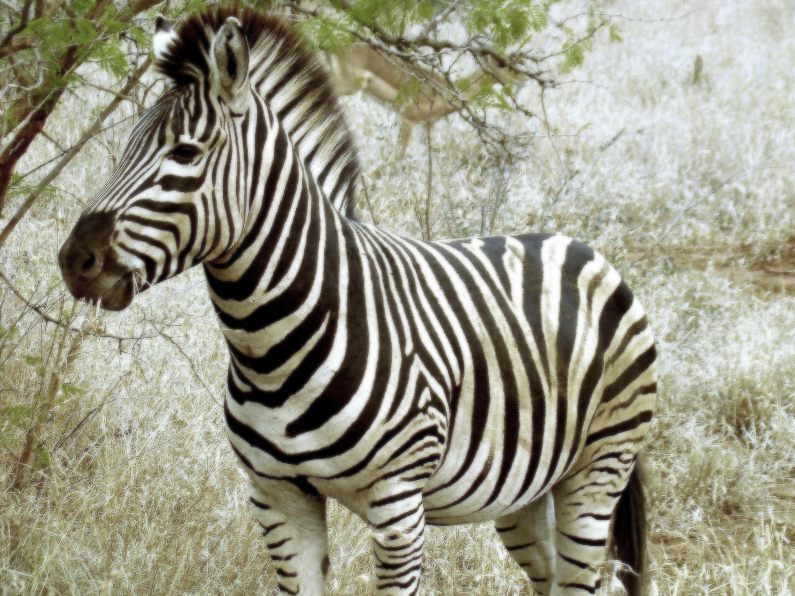 Обои Зебра, Африка, полосатая