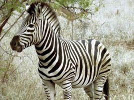 Бесплатные фото Зебра,Африка,полосатая