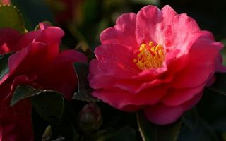 Фото бесплатно лепестки, розовые, пестики