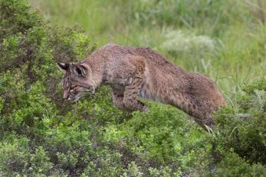 Фото бесплатно рысь, хищник, животное