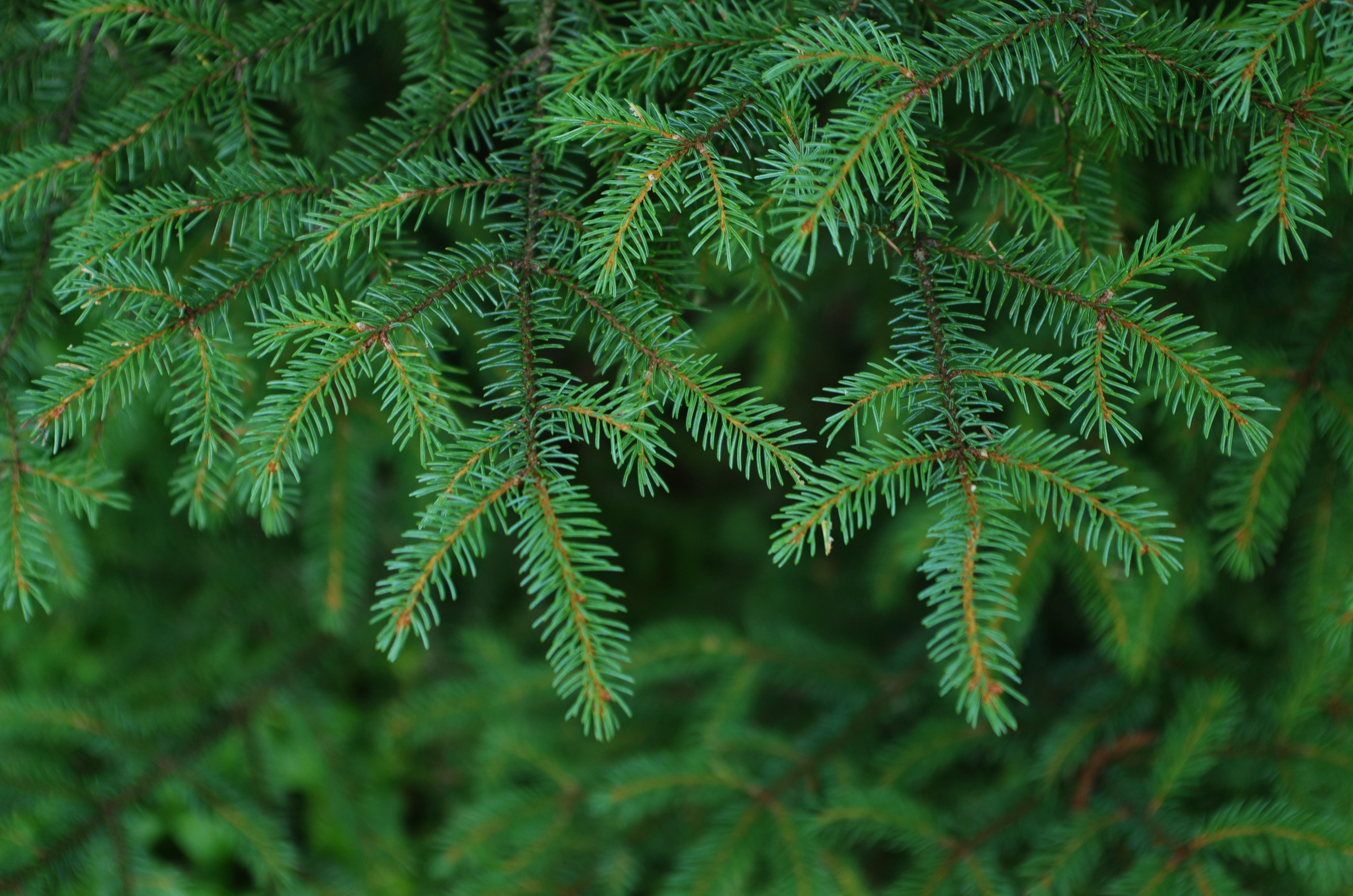 Картинка с еловыми ветками, картинка дню