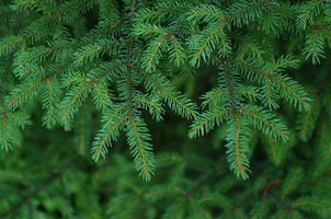 Бесплатные фото еловые ветки,иголки,природа