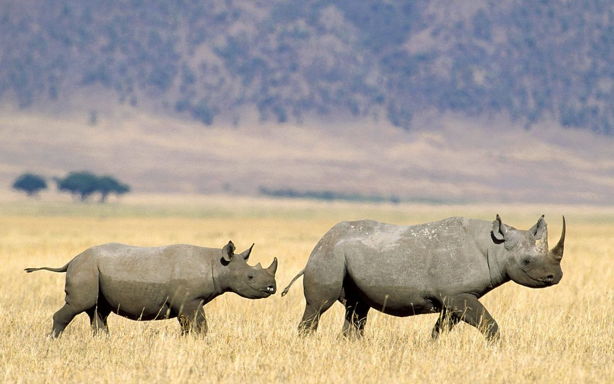Photos for free Rhinoceroses, muzzles, ears - to the desktop
