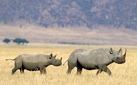 Фото бесплатно носороги, морды, уши