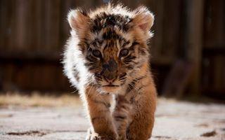 Бесплатные фото тигренок, котенок, хищник, морда, лапы, шерсть