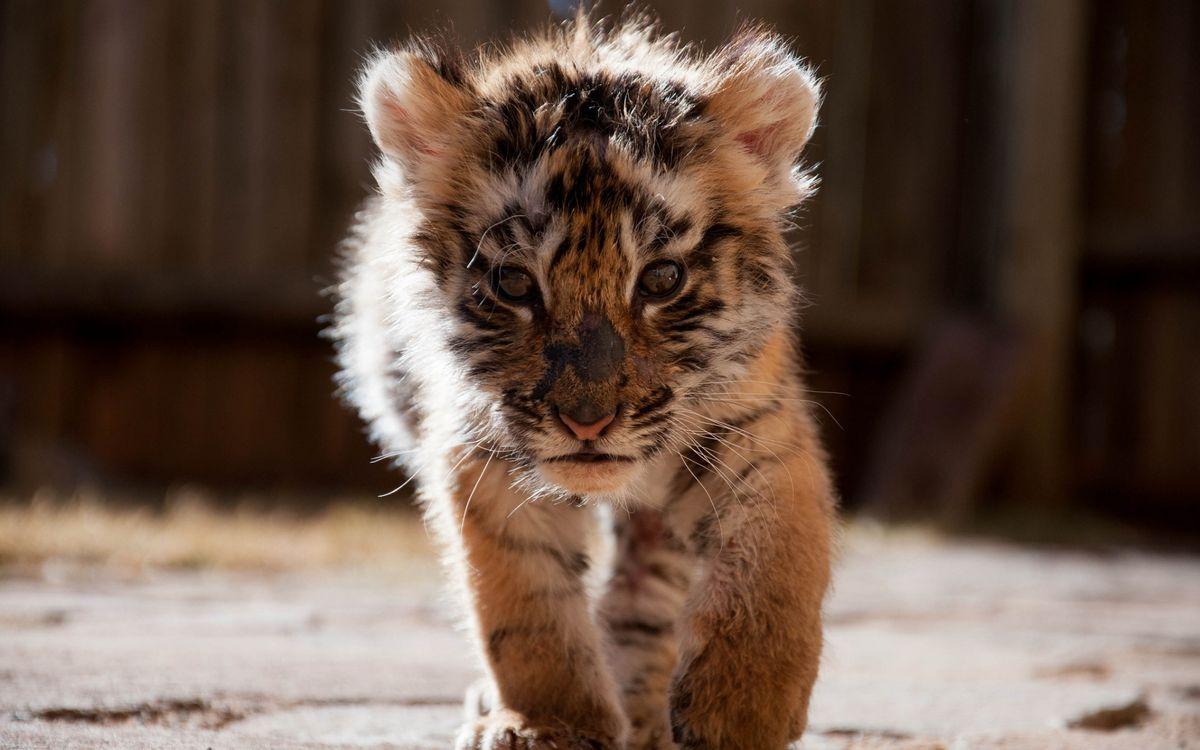 Фото бесплатно тигренок, котенок, хищник, морда, лапы, шерсть, кошки