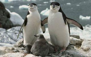 Фото бесплатно пингвины, птенцы, клювы