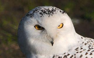 Бесплатные фото сова,сипуха,клюв,глаза,желтые,перья