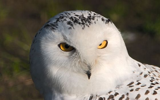 Photo free owl, barn owl, beak