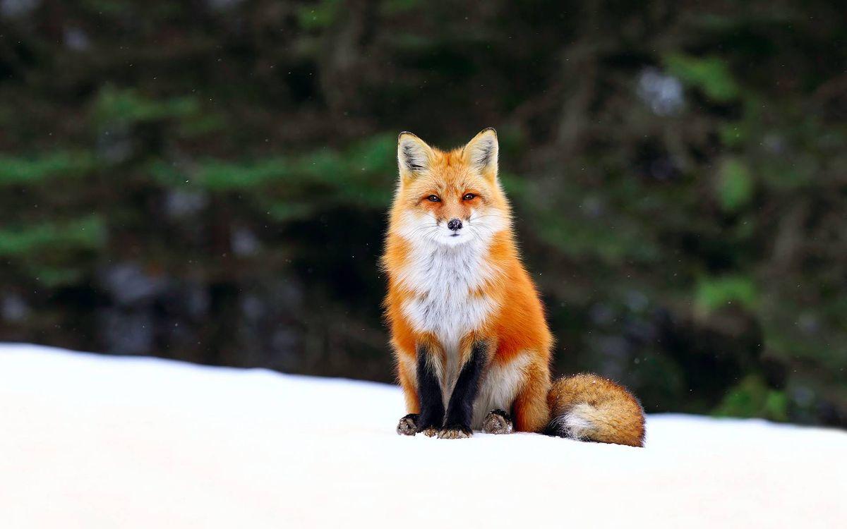 Фото бесплатно лиса, морда, лапы, хвост, шерсть, зима, снег - на рабочий стол