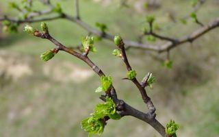Фото бесплатно весна, ветви, почки