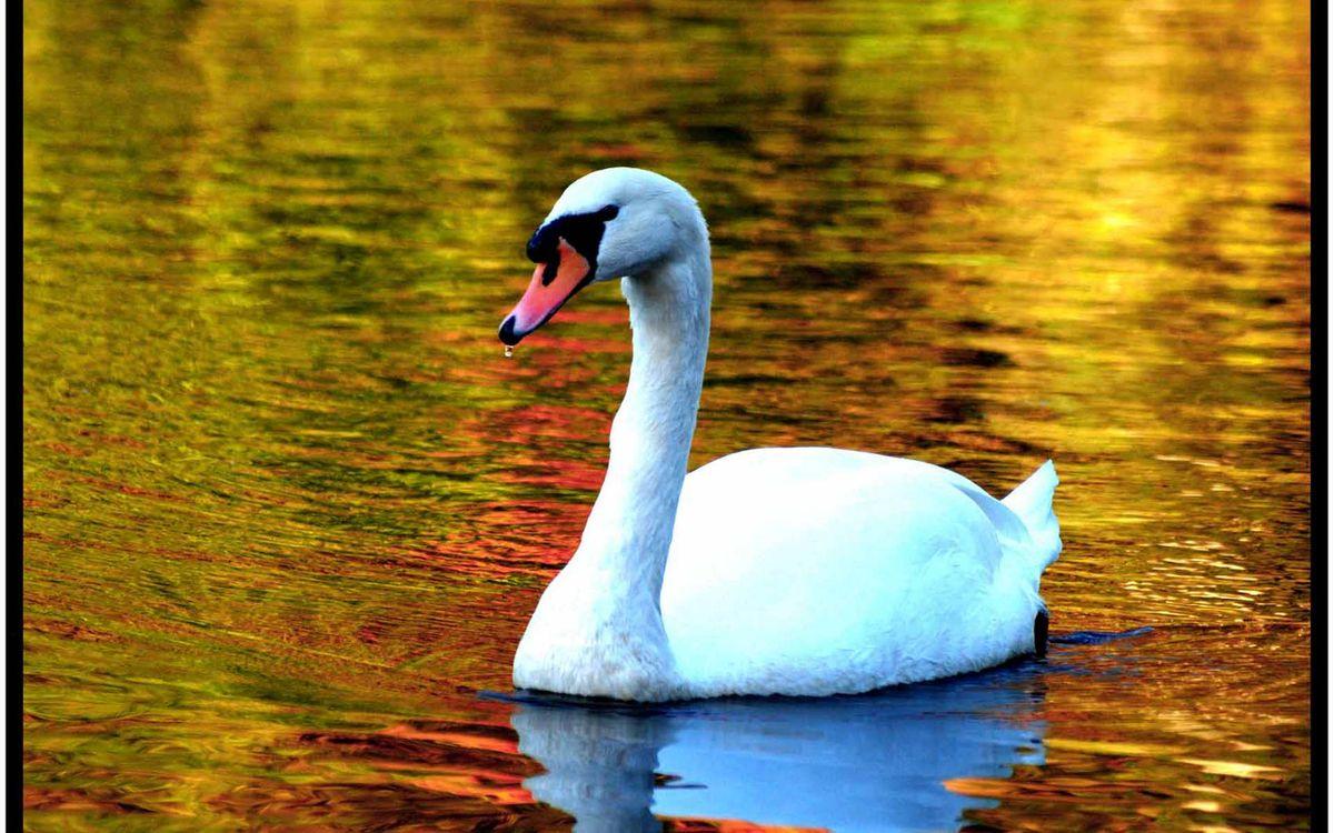 Photos for free pond, swan, white - to the desktop