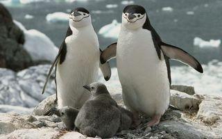 Бесплатные фото пингвины,семья,камни,гнездо,птенцы,океан