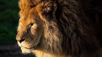 Фото бесплатно царь зверей, шерсть, шрамы