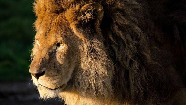 Photo free king of beasts, wool, scars