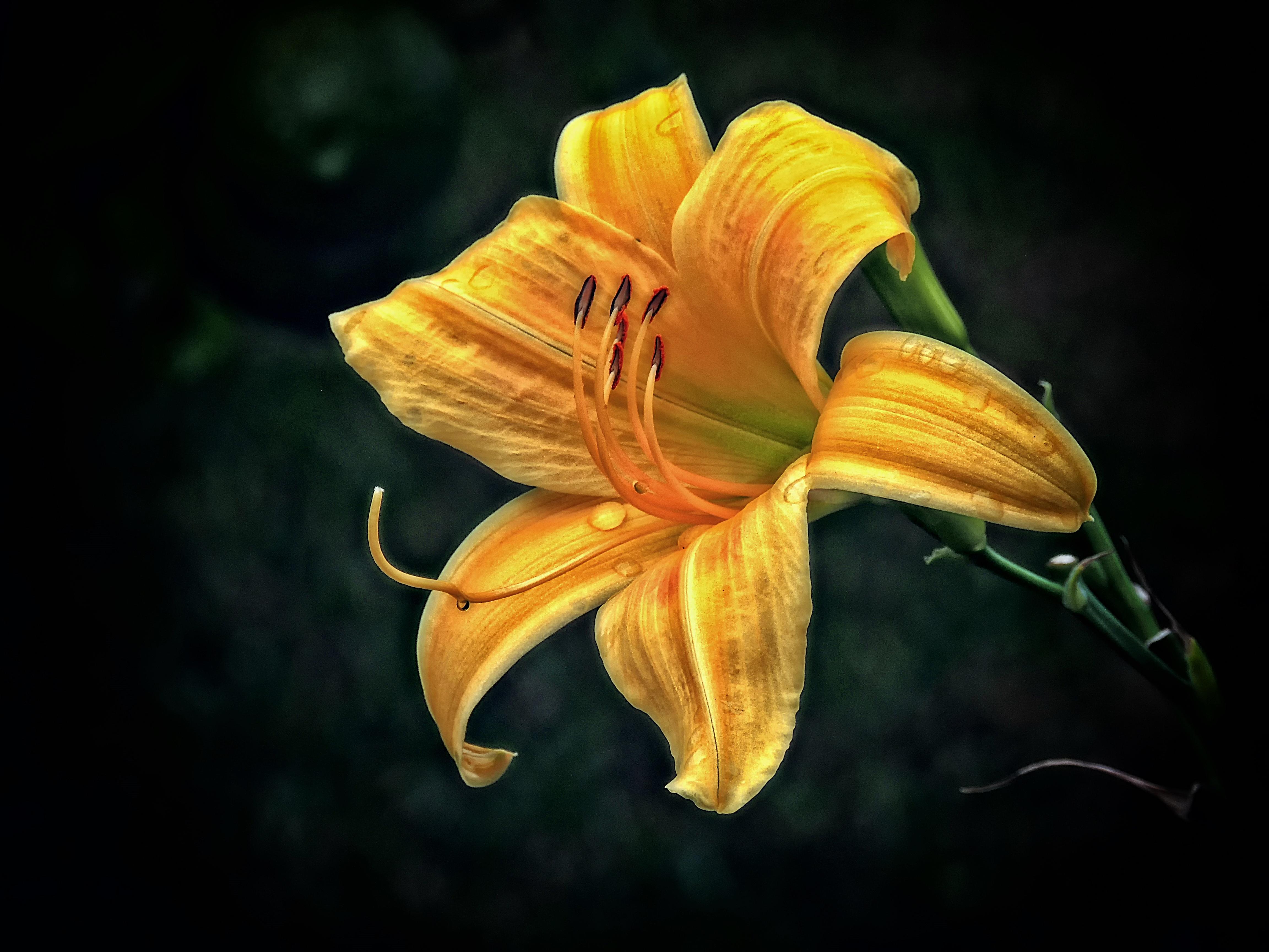 Обои лилия, цветок, флора