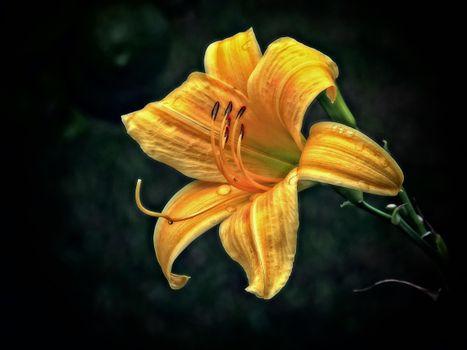 Фото бесплатно лилия, цветок, флора