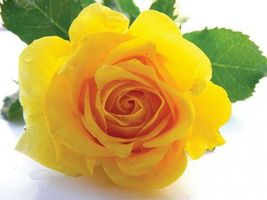 Photo free rose, yellow, green