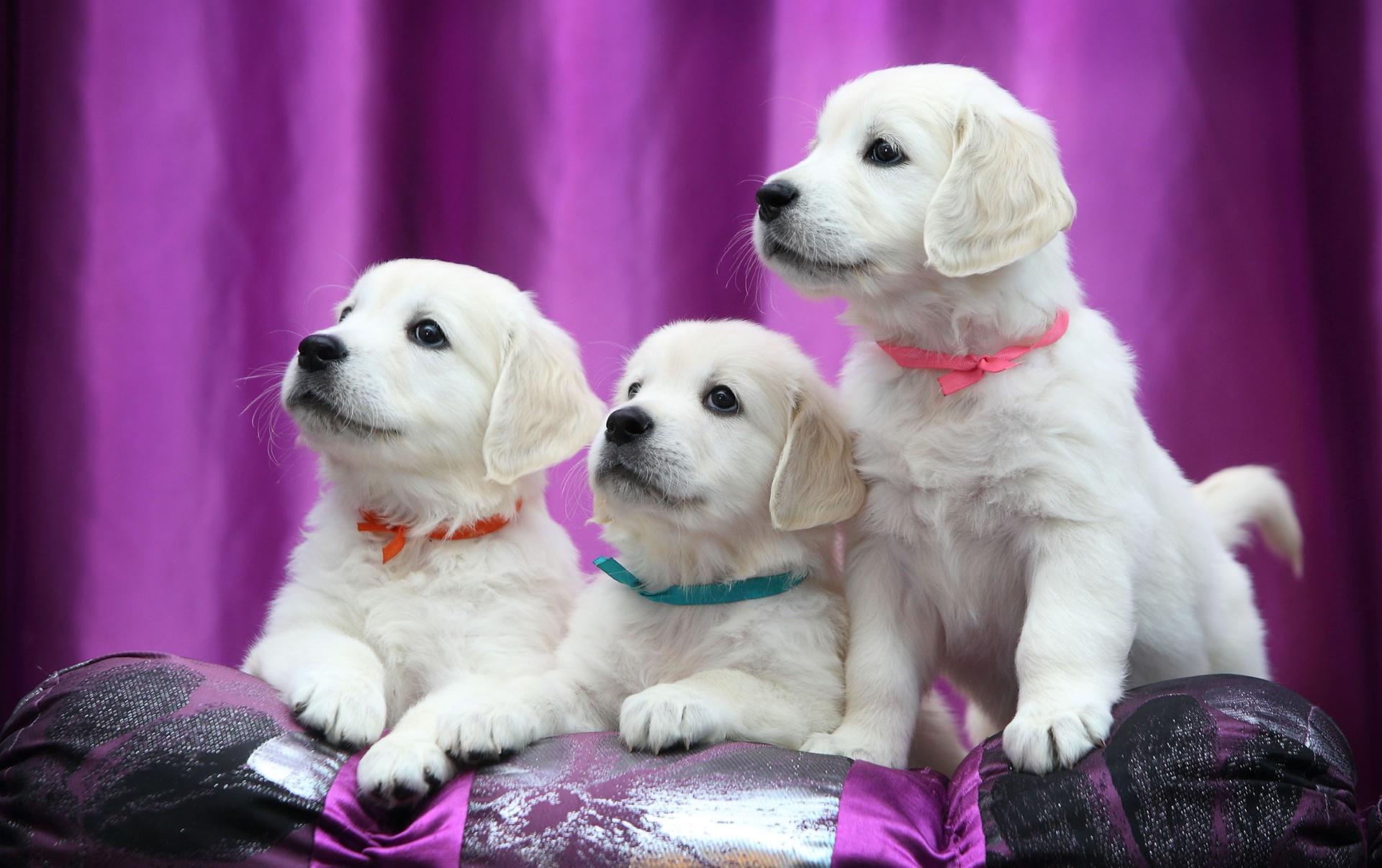 Обои щенки, ленточки, лабрадор, ретривер