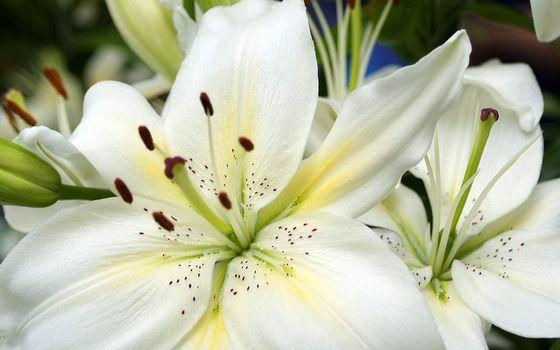 Фото бесплатно белая лилия, крупным планом