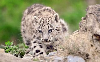 Бесплатные фото гепард,котенок,окрас,пятна,шерсть,камни,трава