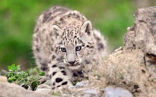 Фото бесплатно гепард, котенок, окрас