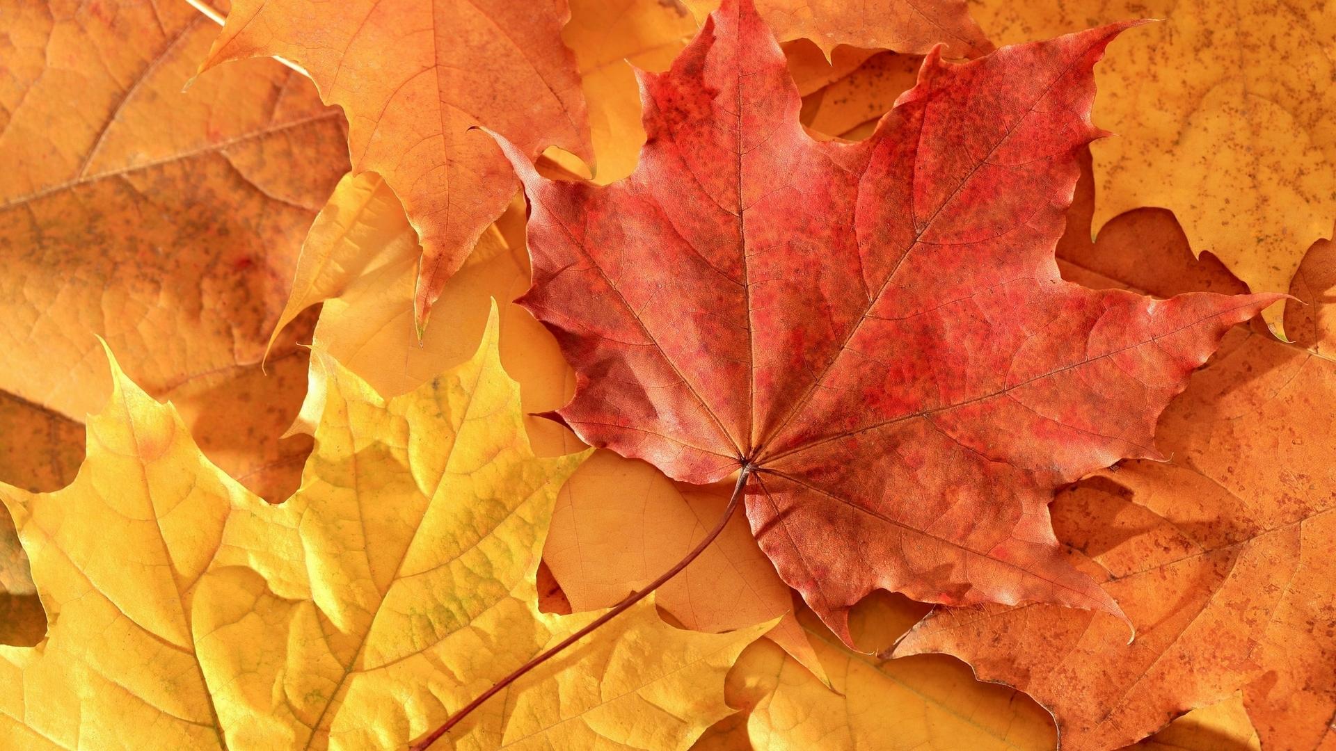 Обои клен, листья, оранжевые, прожилки