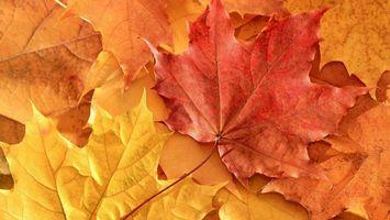 Фото бесплатно клен, листья, оранжевые, прожилки, природа