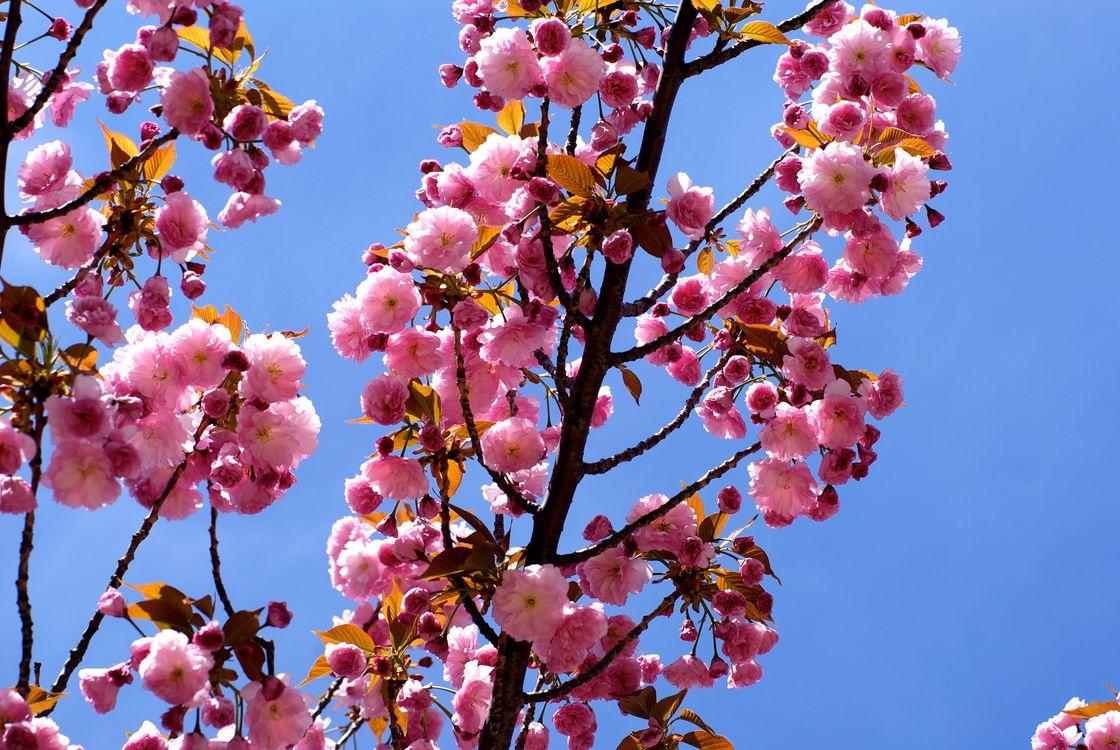 Обои sakura, Cherry Blossoms, ветка, цветы, флора, весна, цветение на телефон | картинки цветы