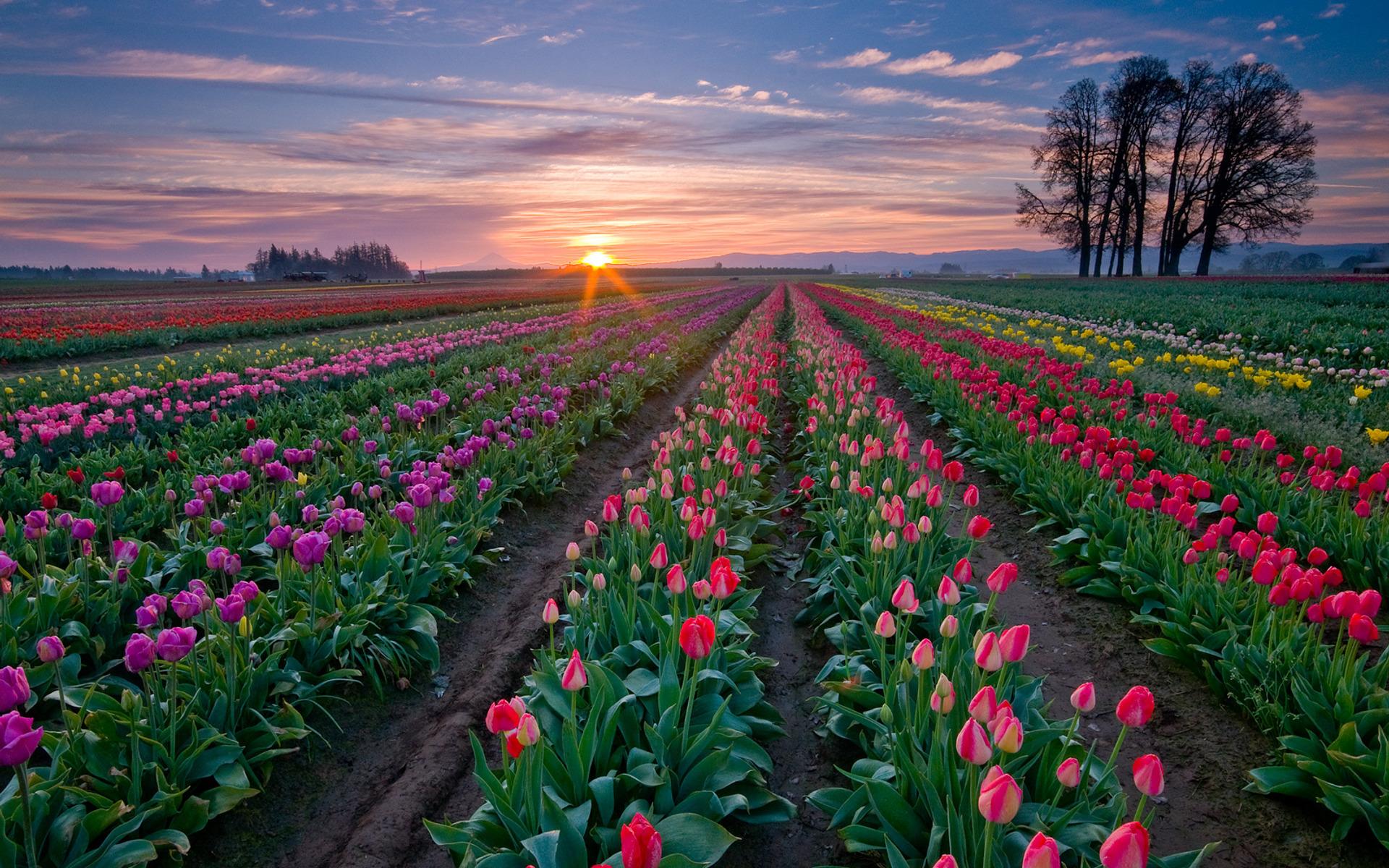 Тюльпаны поле цветные без смс