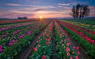 Фото бесплатно поле, грядки, тюльпаны, деревья, небо, закат