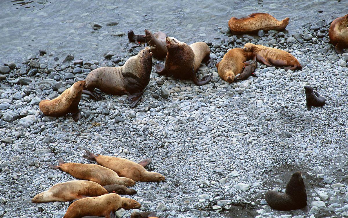 Фото бесплатно моржи, морские котики, морды, ласты, лежбище, берег, камни, море, животные