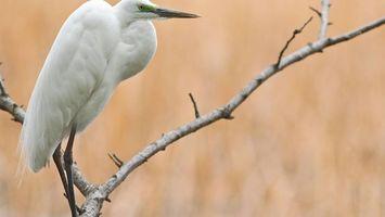 Бесплатные фото цапля,белая,клюв,крылья,перья,лапы,ветка