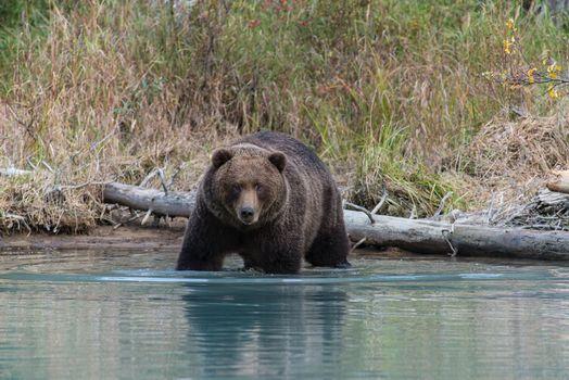 Бесплатные фото Аляска,Lake Clark National Park,бурый медведь,Гризли,Национальный парк Лейк-Кларк