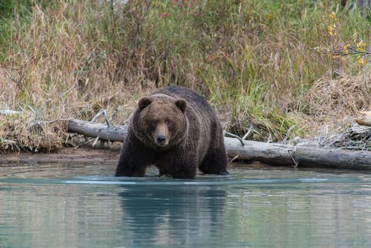 Photo free Grizzly, brown bear, Lake Clark National Park