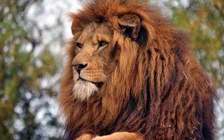 Photo free lion, muzzle, wool