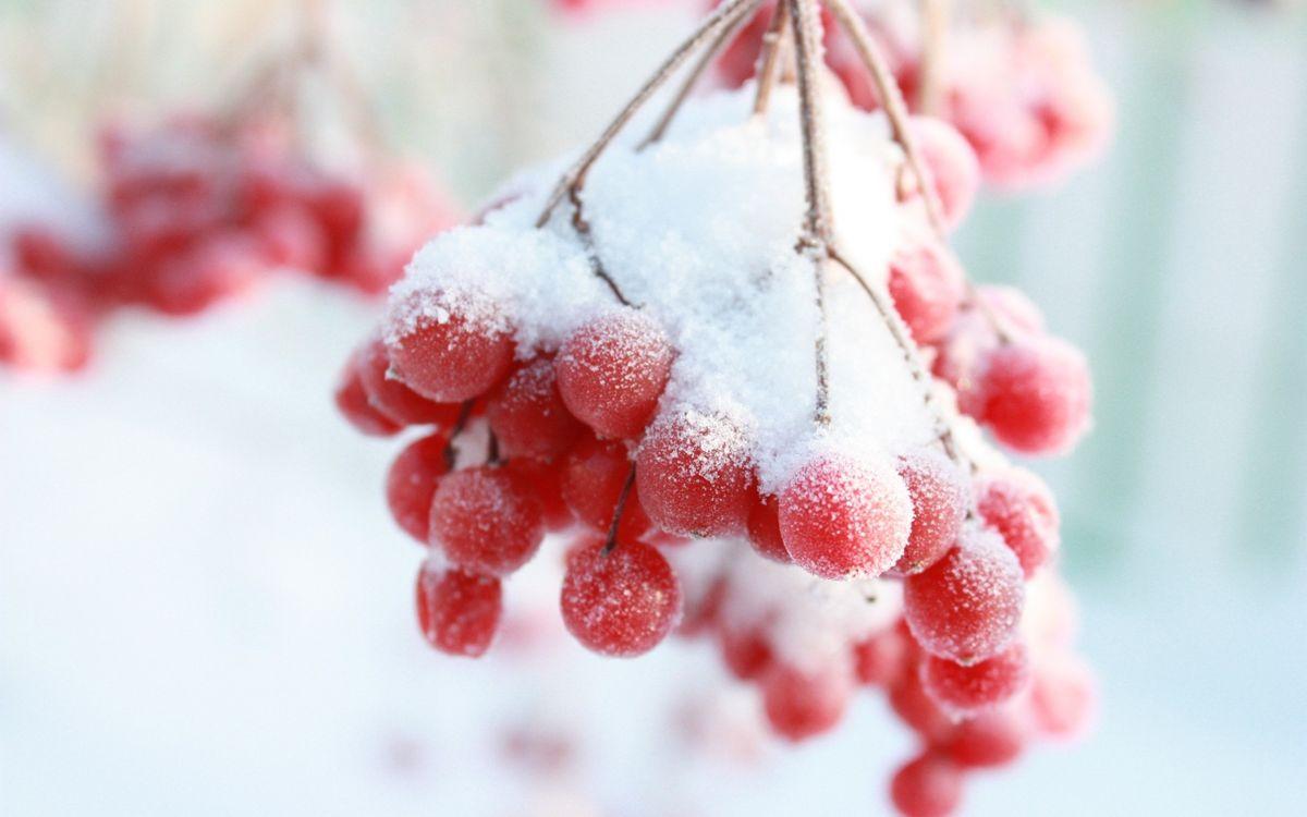 Картинка зима, ягоды, снег, мороз на рабочий стол. Скачать фото обои природа